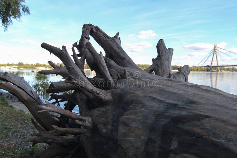 Drzewo korzenie na plaży Bele rzucać na ląd Po Powodzi korzeń korzenie korzenie drzewo rzucający na brzeg suche drzewo obrazy royalty free