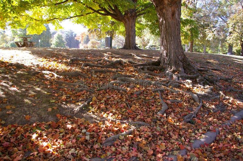 Drzewo korzenie w liściach fotografia royalty free