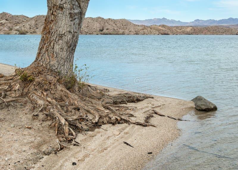 Drzewo korzenie wystawiający wodą zdjęcie royalty free