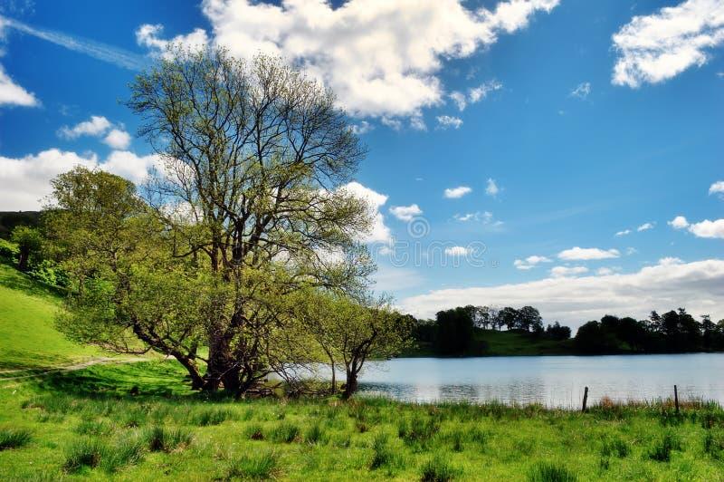Drzewo krawędzią Loughrigg Tarn zdjęcie royalty free
