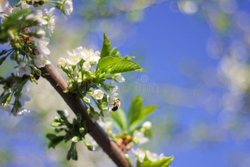Drzewo kwiat w wiośnie na gałąź biali delikatni kwiaty Ciepły słoneczny dzień zdjęcie stock