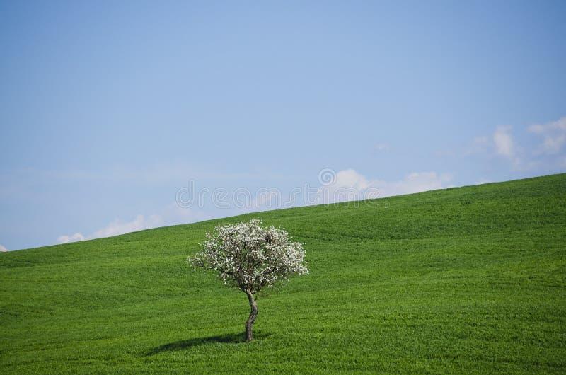 Drzewo Kwitnie w Tocznych wzgórzach Tuscany obrazy stock