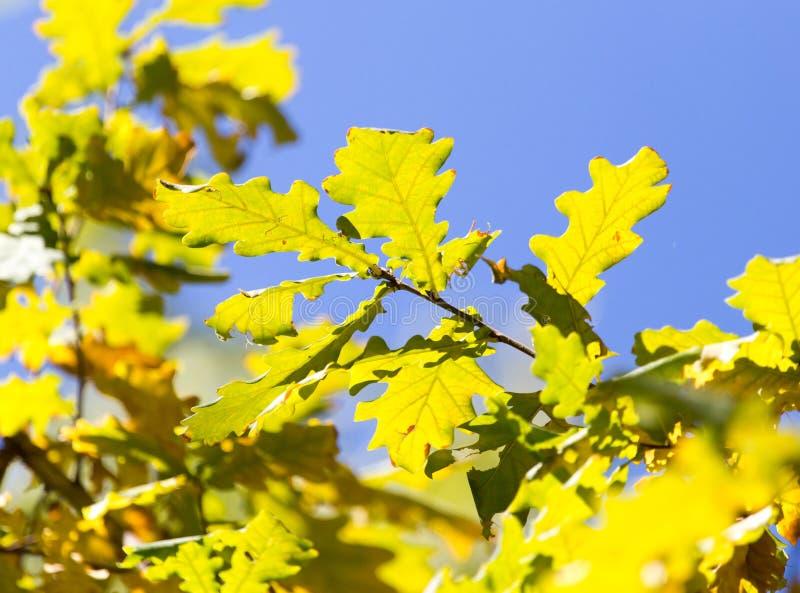 Drzewo liście w jesieni obraz royalty free