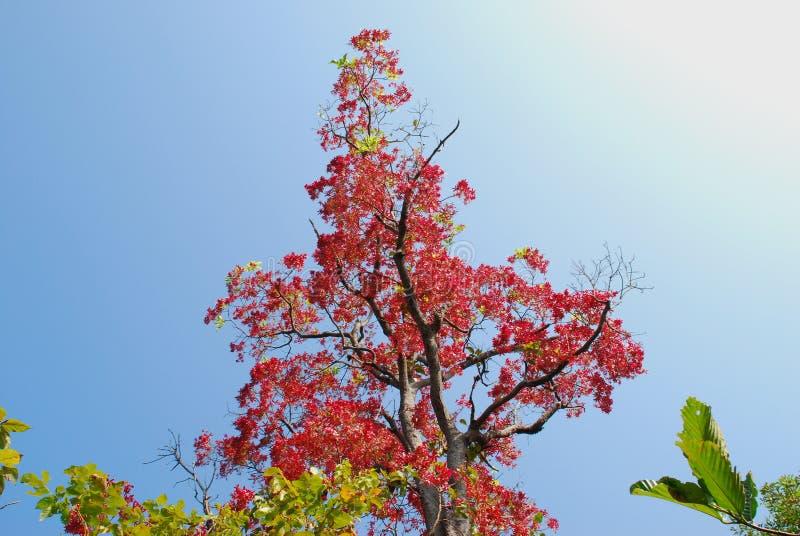 Drzewo ma czerwone liście zdjęcie royalty free