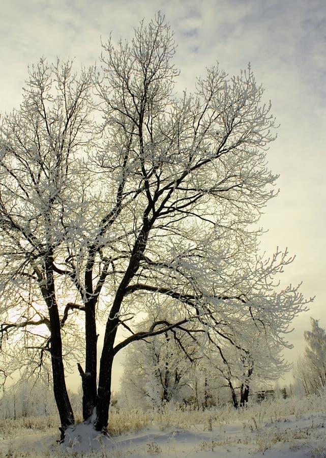 drzewo mroźna zima obraz royalty free