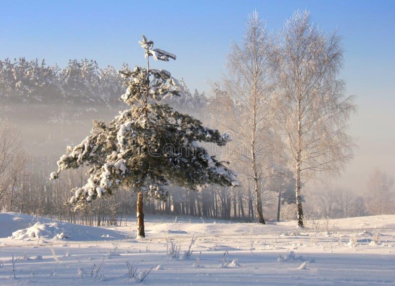 drzewo, mrożone zdjęcie royalty free