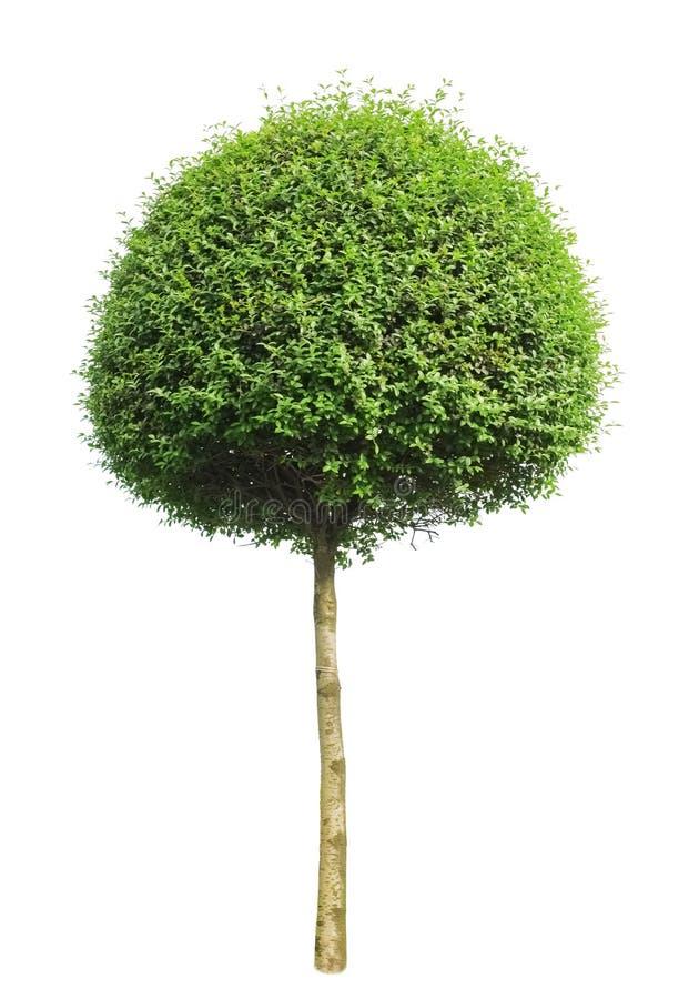 Drzewo na białym tle zdjęcie royalty free