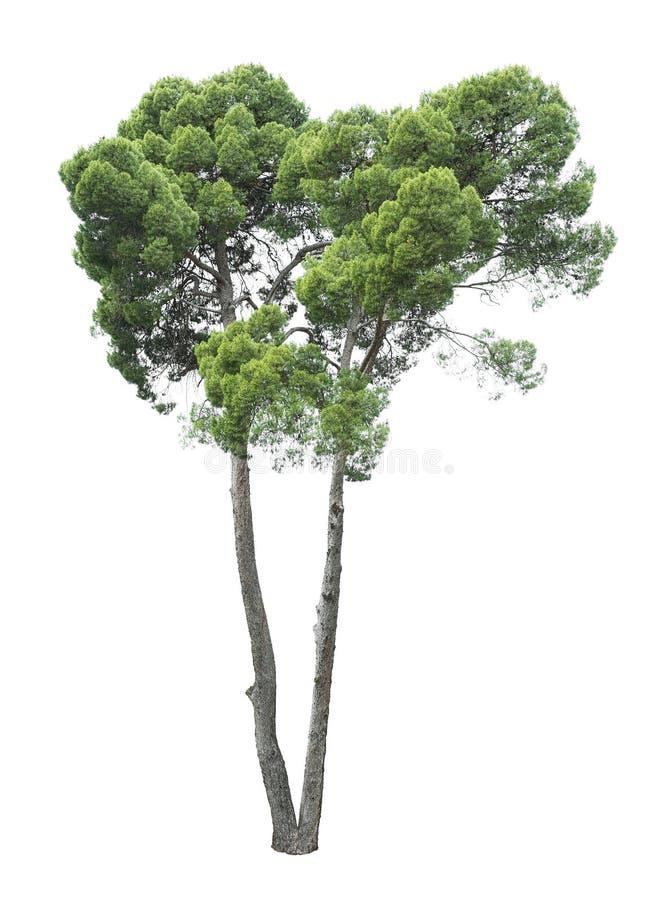 Drzewo na białym tle obrazy stock