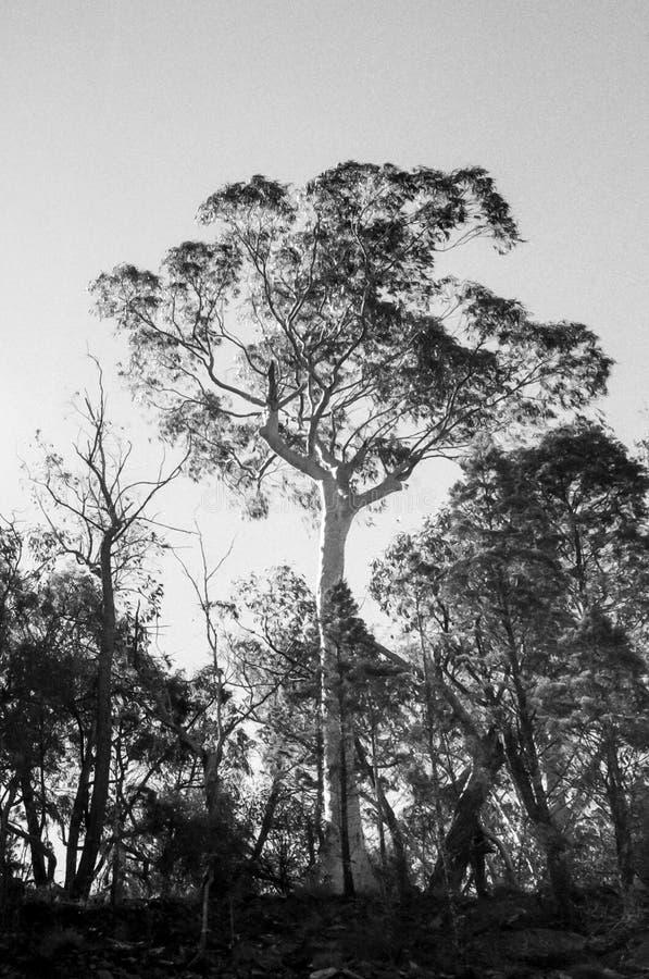 Drzewo na grani przy jutrzenkowego światła dziennego Australia Mudgee pionowo krajobrazowego monochromatycznego wiejskiego region obraz stock