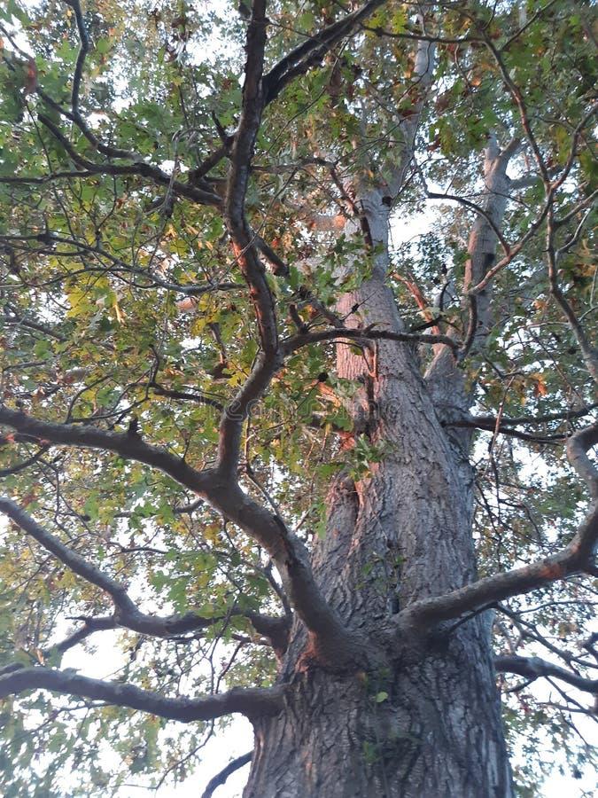 Drzewo naturalne kończyny wspinają się na kentucky obraz stock