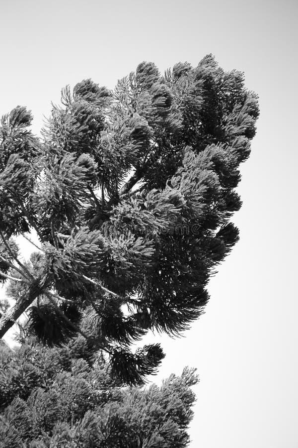 Drzewo od Parana fotografia stock