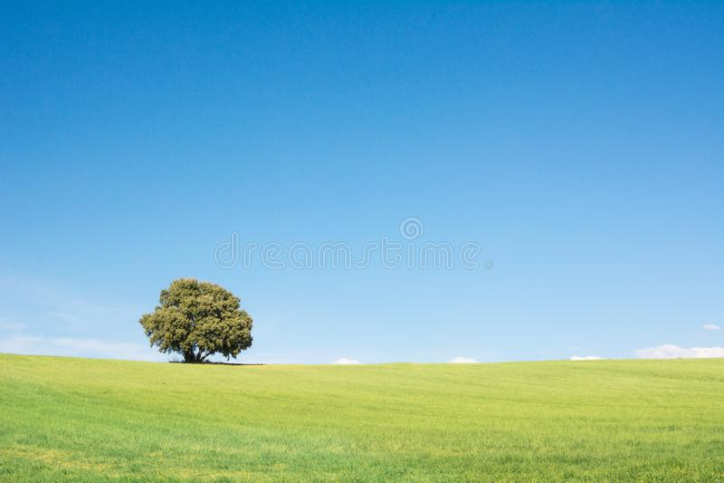 Drzewo odizolowywaj?cy na zielonym polu, pod czystym niebieskim niebem fotografia stock