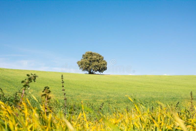 Drzewo odizolowywaj?cy na zielonym polu, pod czystym niebieskim niebem obraz stock