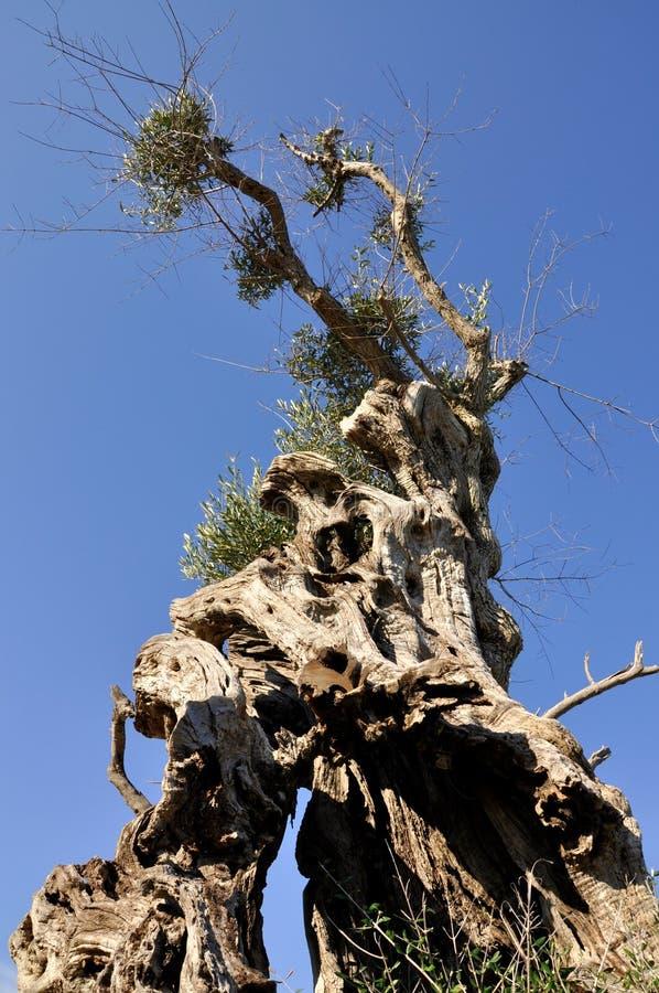 drzewo oliwne obraz stock