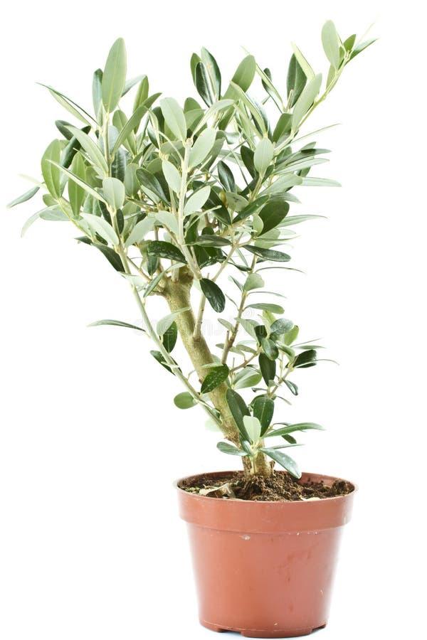 drzewo oliwne fotografia royalty free