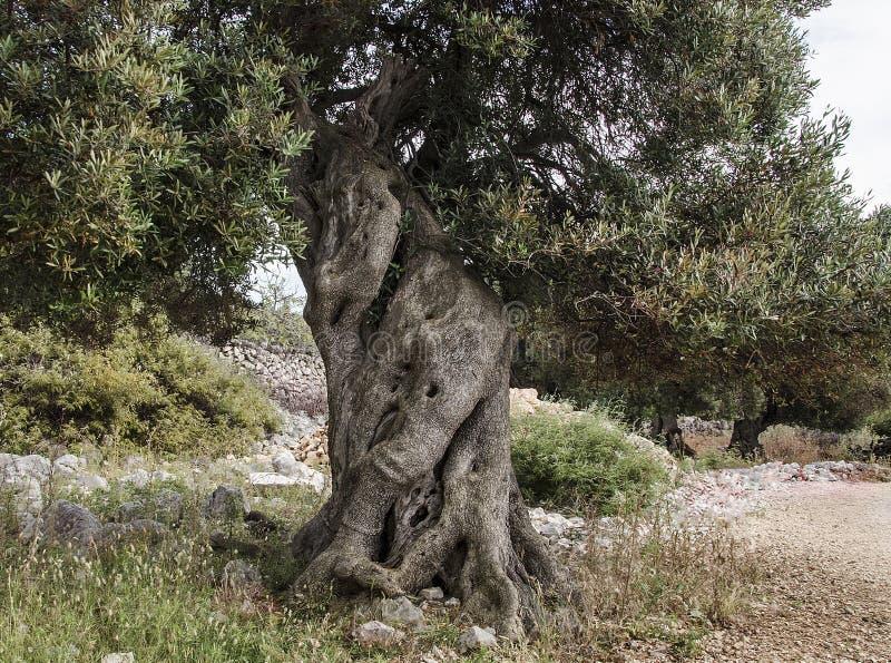 Drzewo oliwne -3 obraz royalty free