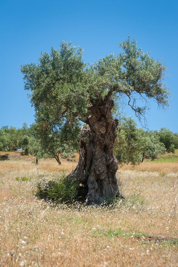 Drzewo oliwne, approx 1000 lat albo nawet więcej Drzewo oliwne plantacja w Andalucia, Andalusia Hiszpania europejczycy zdjęcia stock