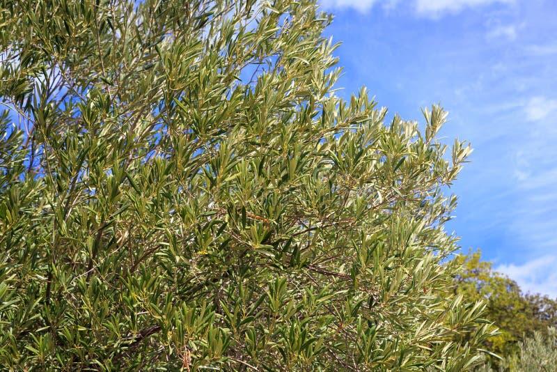 Drzewo oliwne gałąź obrazy royalty free