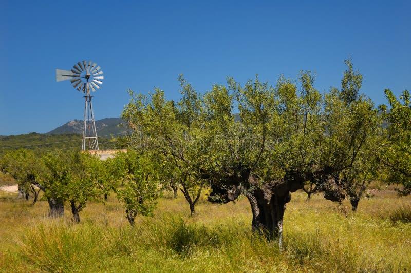 drzewo oliwne młyński stary wiatr zdjęcie royalty free