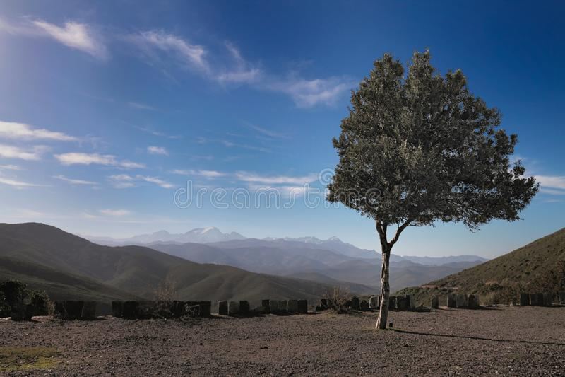 Drzewo Oliwne Na Wzgórzu, Corsica Obraz Royalty Free