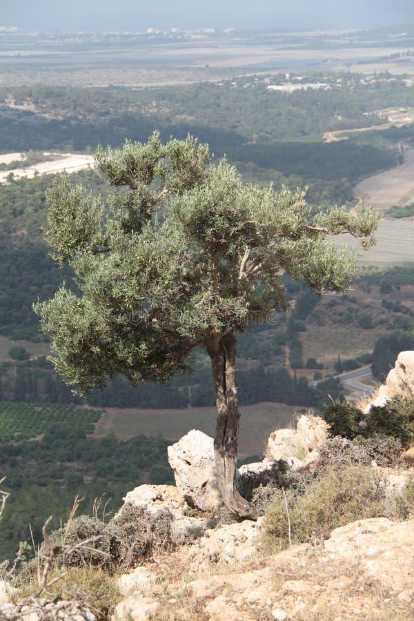 Drzewo Oliwne Nad dolina krajobrazem fotografia royalty free