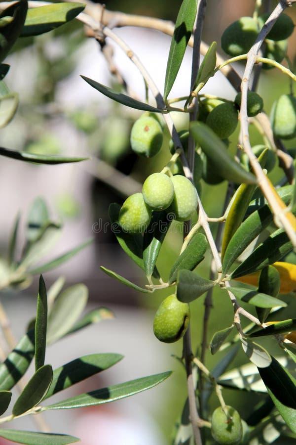 drzewo oliwne oddziału obrazy stock