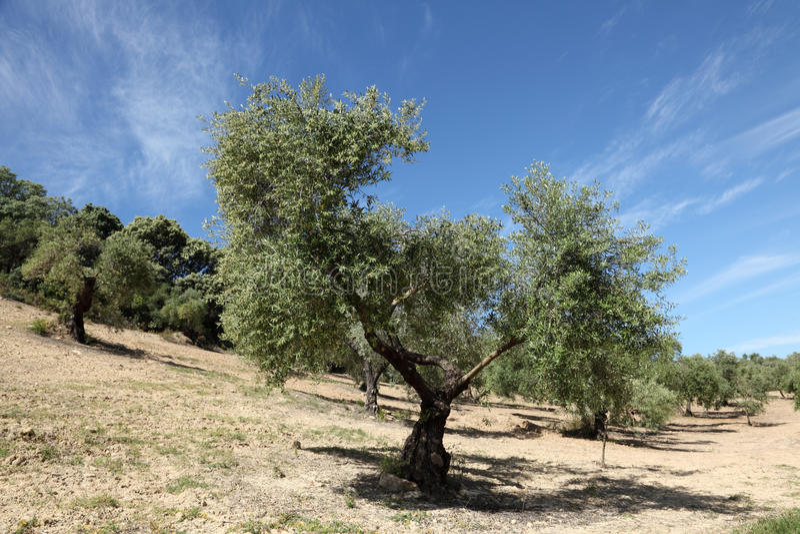 Drzewo oliwne plantacja zdjęcie stock