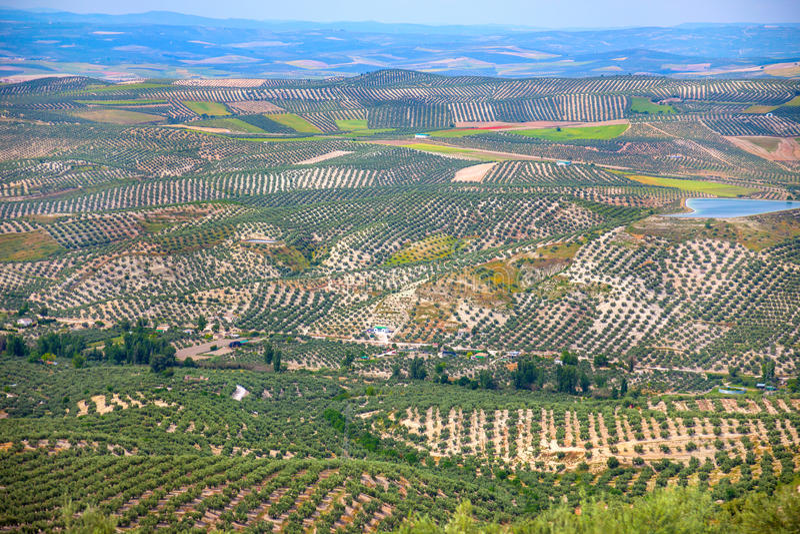 Drzewo Oliwne plantacja, Andaluzyjski krajobraz, Hiszpania, Europa zdjęcia royalty free