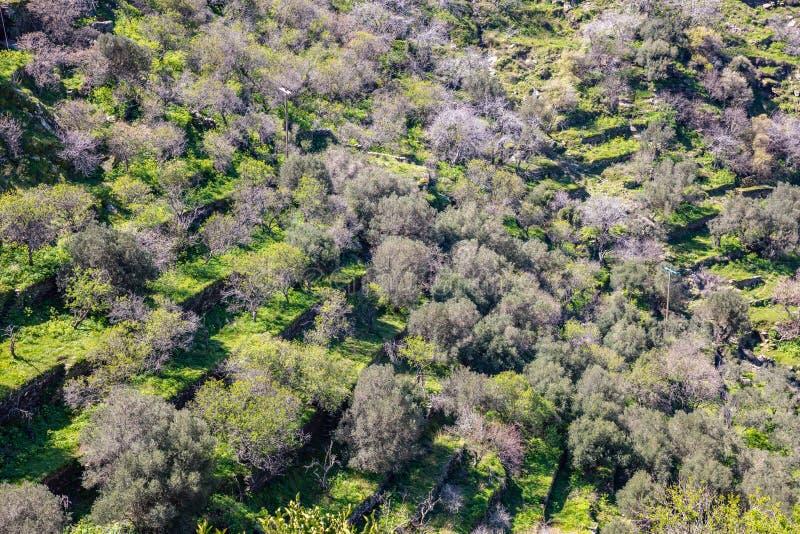Drzewo oliwne sad, świeży jaskrawy - zielony gazonu tło, widok z lotu ptaka obrazy royalty free