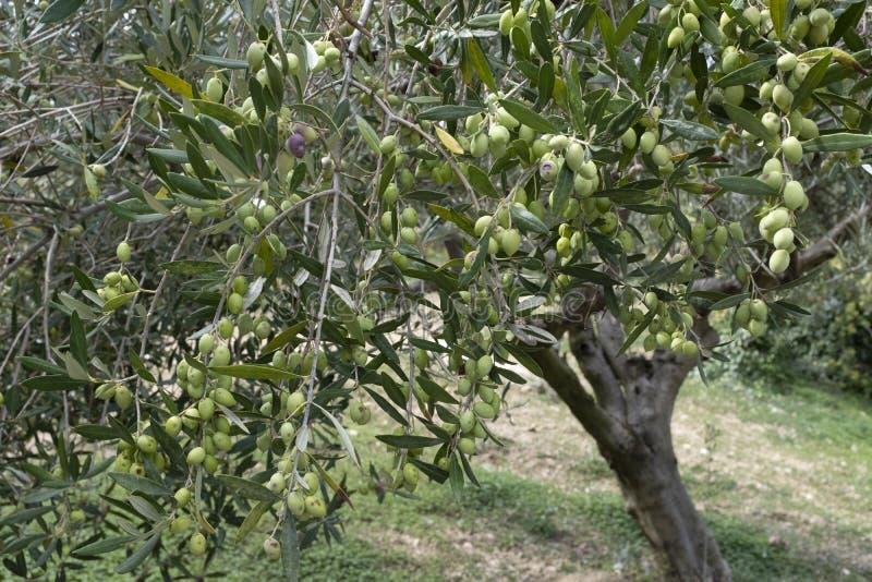 Drzewo oliwne sad w Archanes, Crete obrazy royalty free
