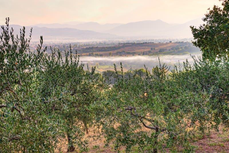 Drzewo oliwne sad w Umbria, Włochy obraz stock