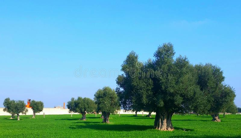 Drzewo oliwne, Salento obraz royalty free
