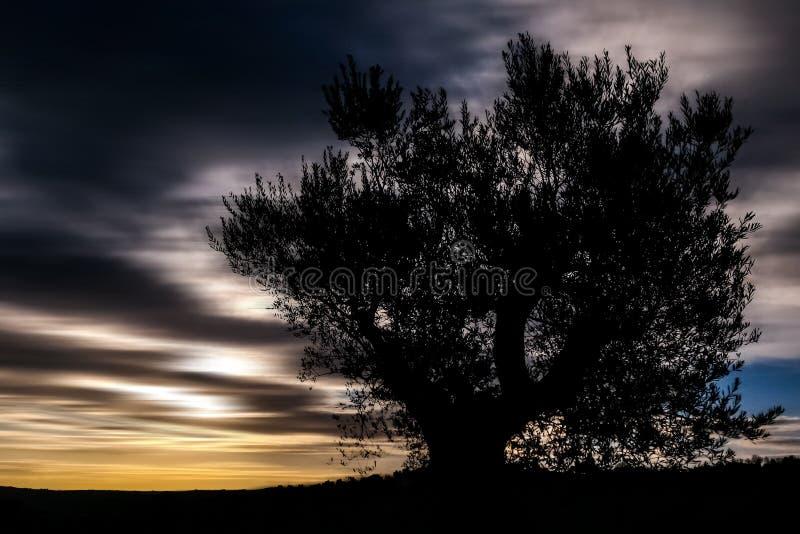 Drzewo Oliwne sylwetka obrazy royalty free