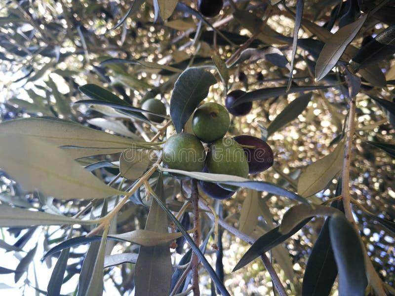 Drzewo oliwne, w Bergamo, Włochy, octobre 2018 obrazy royalty free