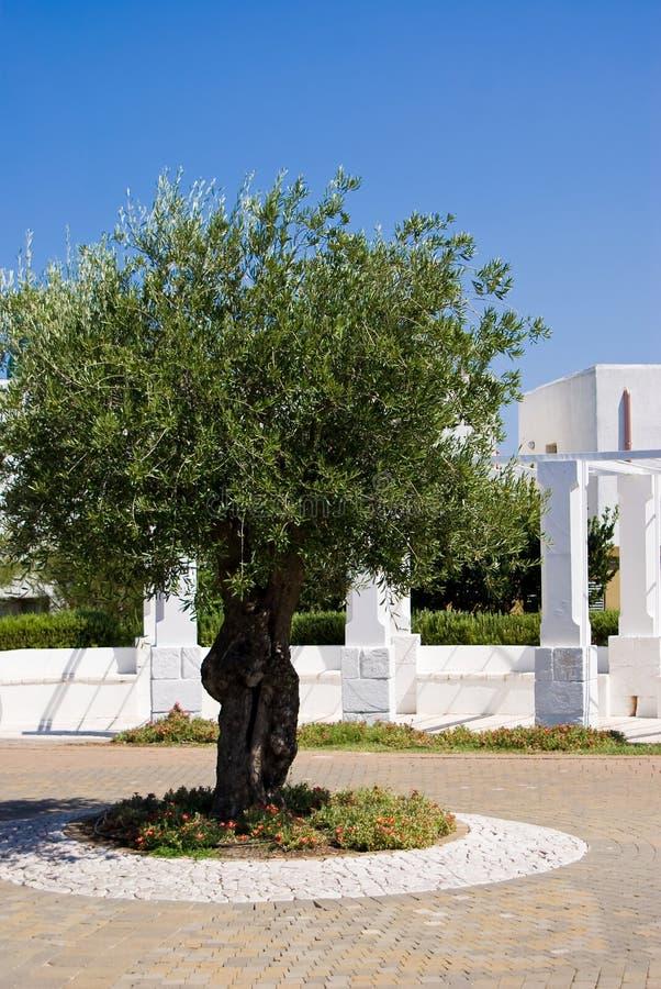 Drzewo oliwne w gospodarstwie rolnym zdjęcie stock