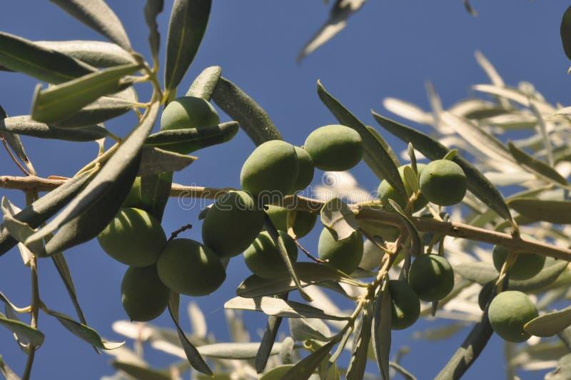 Drzewo oliwne z świeżymi zielonymi oliwkami na gałąź z owoc i liśćmi z głębokim niebieskim niebem w tle obraz royalty free