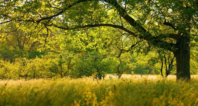 drzewo orzecha obraz royalty free