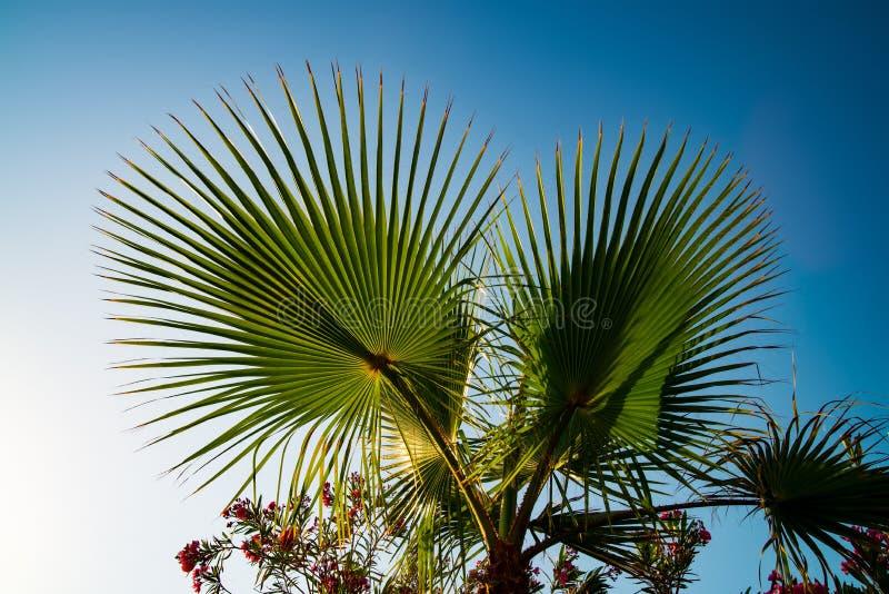 Drzewo palmy liściowej na niebieskim niebie fotografia stock