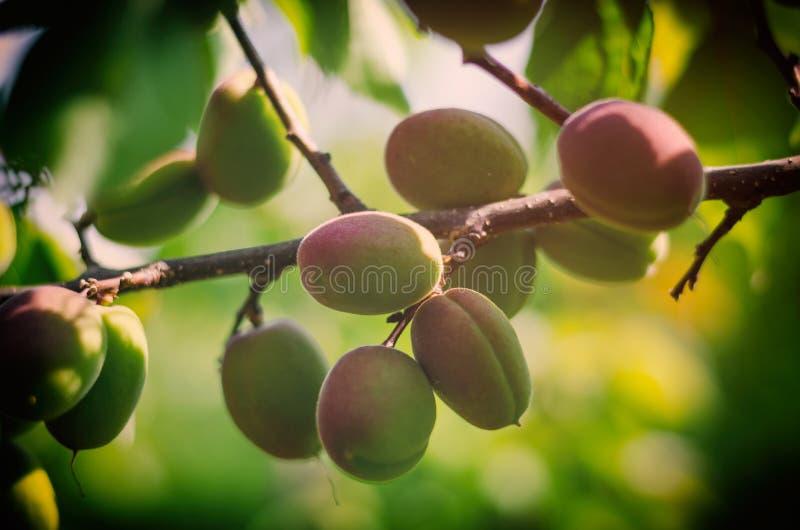 Drzewo peachs zdjęcie stock