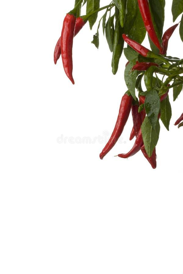 drzewo peppera, obraz royalty free