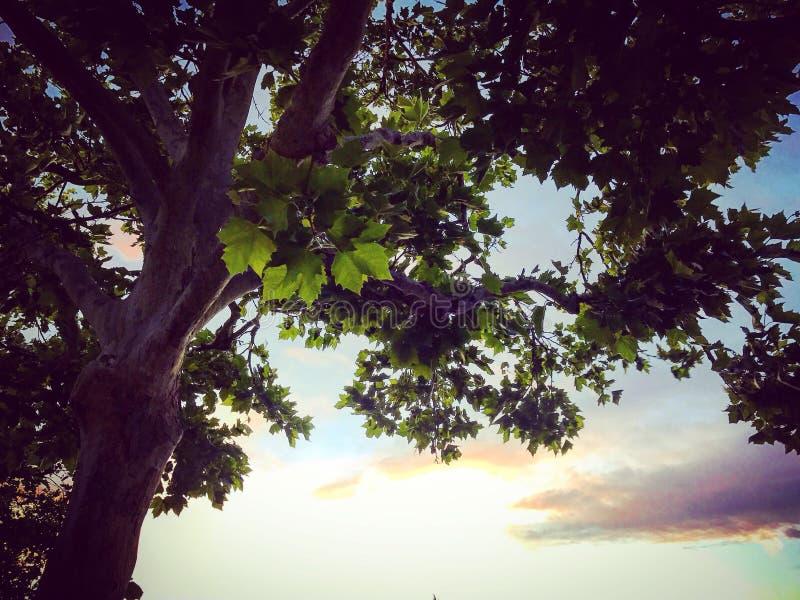 Drzewo pokazuje swój piękno w zmierzchu obraz stock