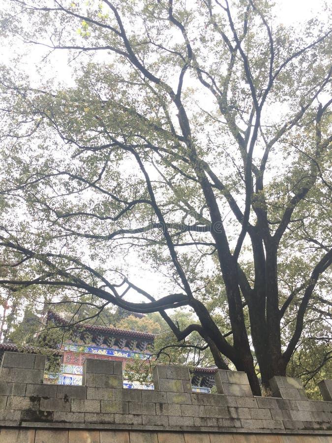 Drzewo przed świątynią fotografia stock