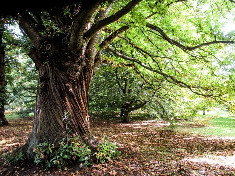 Drzewo przy Kew ogródami obraz stock