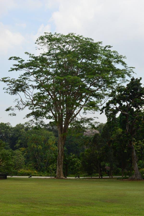 Drzewo przy Singapur ogródami botanicznymi zdjęcie royalty free