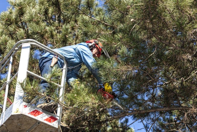 Drzewo przycina mężczyzna z piłą łańcuchową, stoi na machinalnej platformie na dużej wysokości między gałąź austriackie sosny, zdjęcia royalty free