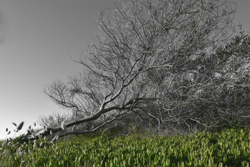 Drzewo pukający puszek wiatrem zdjęcia royalty free