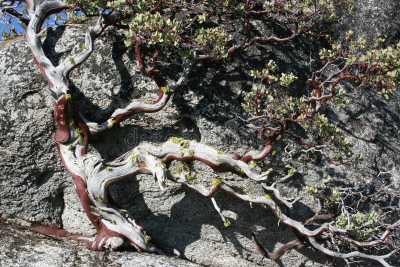 drzewo rockowy drzewo obraz stock