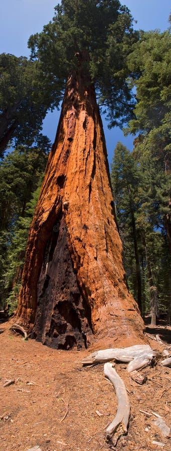 drzewo sekwoi obrazy stock