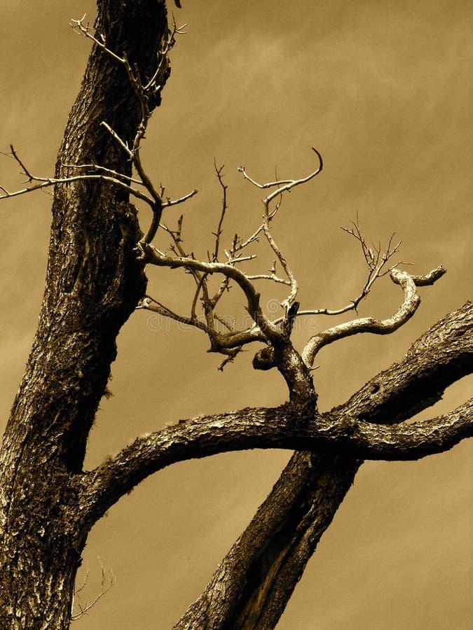 drzewo sepiowy obrazy royalty free
