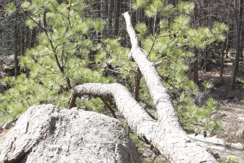 drzewo się fotografia royalty free